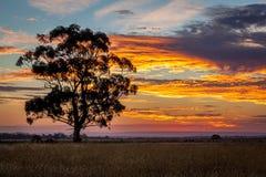 Árbol de goma en la puesta del sol, Sunbury, Victoria, Australia, diciembre de 2016 Imágenes de archivo libres de regalías
