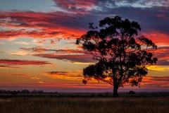 Árbol de goma en la puesta del sol, Sunbury, Victoria, Australia, diciembre de 2016 Fotos de archivo libres de regalías