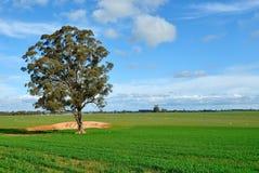 Árbol de goma en un prado, en una granja en Victoria, Australia Imagen de archivo