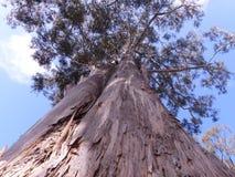 Árbol de goma gigante de eucalipto Fotos de archivo libres de regalías