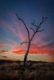 Árbol de goma muerto en la puesta del sol, Sunbury Victoria, marzo de 2017 Fotos de archivo