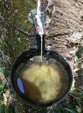 Árbol de goma, sao de goma Paulo Stare Brazil del cuenco de la colección fotos de archivo libres de regalías