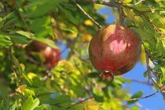 Árbol de granada Imagen de archivo