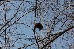 Árbol de granada Fotos de archivo libres de regalías
