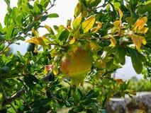 Árbol de granada con la fruta Fotografía de archivo