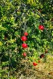 Árbol de granada con las frutas maduras Imagen de archivo