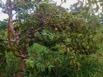 Árbol de Guajavas fotos de archivo