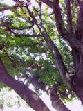 Árbol de haba Imagen de archivo