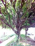 Árbol de haba Imagenes de archivo