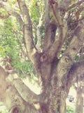 Árbol de haba Foto de archivo