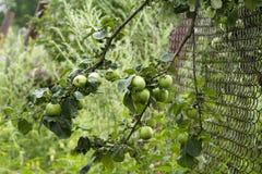 Árbol de Harvesting Fotografía de archivo libre de regalías