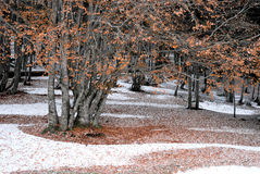 Árbol de haya Imagen de archivo libre de regalías