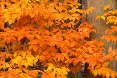 Árbol de haya americana Foto de archivo libre de regalías