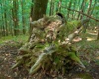?rbol de haya arruinado en el bosque, primavera morrning en Medvednica imágenes de archivo libres de regalías