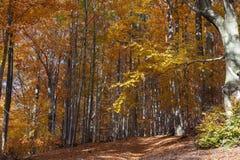 Árbol de haya de plata Foto de archivo