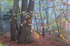 Árbol de haya en bosque brumoso durante otoño Foto de archivo
