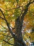 Árbol de haya en colores otoñales fotos de archivo libres de regalías