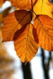Árbol de haya en otoño Foto de archivo libre de regalías