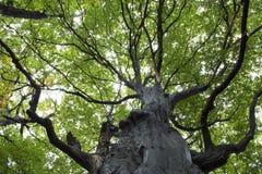 Árbol de haya gigantesco Imagen de archivo