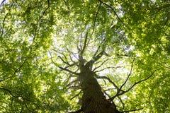 Árbol de haya gigantesco Imagen de archivo libre de regalías