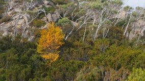 Árbol de haya de hojas caducas rodeado por los árboles del eucalptus en el valle del pino, clair del st del lago almacen de metraje de vídeo