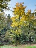 Árbol de haya joven en colores de la caída Fotos de archivo