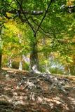 árbol de haya viejo con las raíces agradables Fotos de archivo libres de regalías