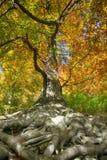 árbol de haya viejo con las raíces agradables Imágenes de archivo libres de regalías
