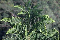 Árbol de Heterophylla de la araucaria del pino de Norfolk del pino de la estrella Imagenes de archivo