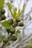 Árbol de higo Imagen de archivo libre de regalías