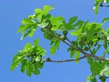 Árbol de higo con los higos en el cielo azul Imágenes de archivo libres de regalías