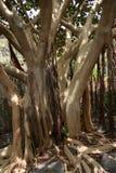 Árbol de higo de la bahía Imágenes de archivo libres de regalías