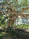 Árbol de higo gigante de Javan - raíces y ramificaciones Foto de archivo libre de regalías
