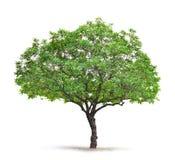 Árbol de hoja caduca en un fondo blanco Fotografía de archivo