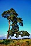 Árbol de hoja perenne Imagenes de archivo
