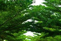 Árbol de hoja perenne Fotografía de archivo