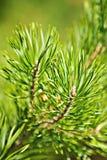 Árbol de hoja perenne Fotos de archivo libres de regalías