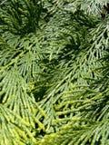 Árbol de hoja perenne Imagen de archivo libre de regalías