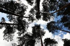 Árbol de hoja perenne más forrest Imágenes de archivo libres de regalías