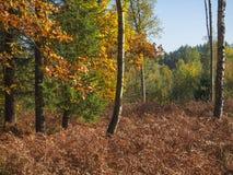 Árbol de hojas caducas del árbol y de haya de abedul del otoño colorido y t spruce Imagen de archivo