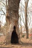 Árbol de hueco Foto de archivo libre de regalías
