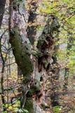 Árbol de hueco Imagen de archivo libre de regalías