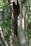 Árbol de hueco Foto de archivo