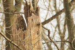 Árbol de hueco con el gran búho de cuernos ocultado Imágenes de archivo libres de regalías