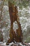 Árbol de hueco - el trago cae parque de estado, Maryland Foto de archivo libre de regalías