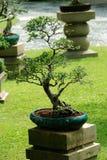 Árbol de interior de los bonsais en un crisol Foto de archivo libre de regalías