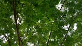 Árbol de Ipil fotografía de archivo