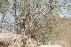 Árbol de ironwood del desierto que crece entre las rocas Fotografía de archivo