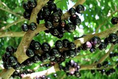 Árbol de Jabuticaba o de Jaboticaba por completo de frutas purpurino-negras Fotografía de archivo libre de regalías