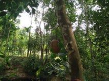 Árbol de Jackfruit Imagenes de archivo